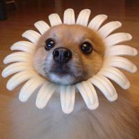 Cachorro Fantasiado